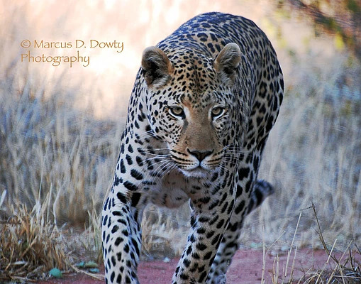 leopard Marcus Dowty